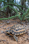 Spider Tortoise (Pyxis arachnoides) in spiny forest. Anjampolo Forest, southern Madagascar.
