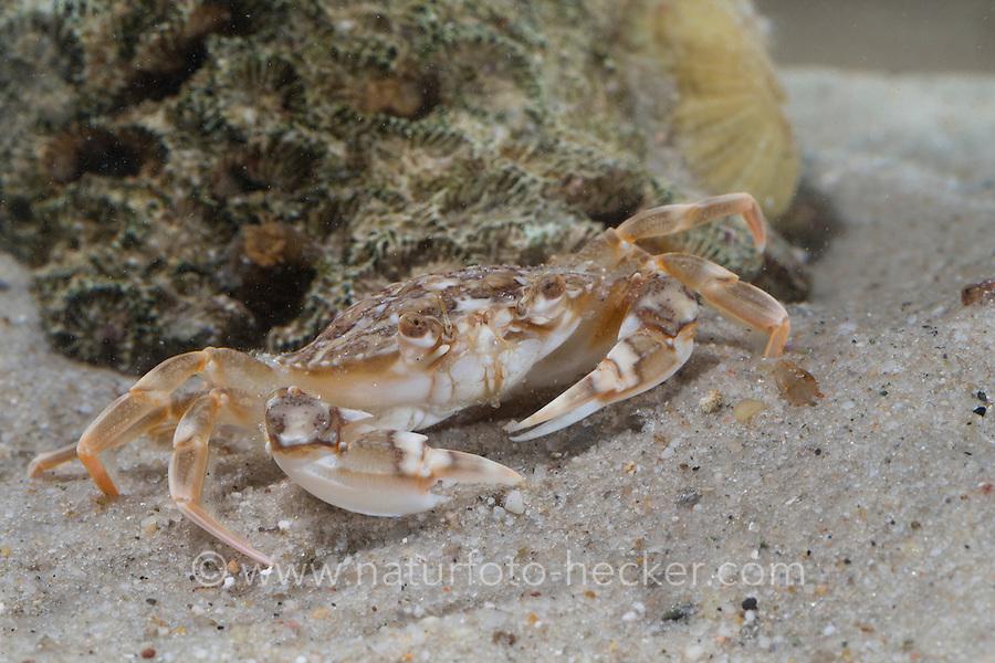 Marmorierte Schwimmkrabbe, Liocarcinus marmoreus, Portunus marmoreus, marbled swimming crab, Le Portune marbré