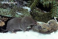 MU11-154z   Short-tailed Shrew - with deer mouse prey - Blarina brevicauda