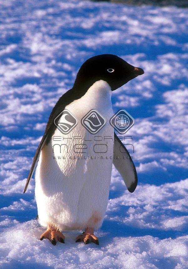Adelie Penguin<br />Animals - Antartica<br />Artic Peninsula / South Georgia Island<br />© Explorer-Images / Jay Watson