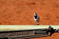 Pied Mudlark in the Red Centre, Northern Territory, Australia