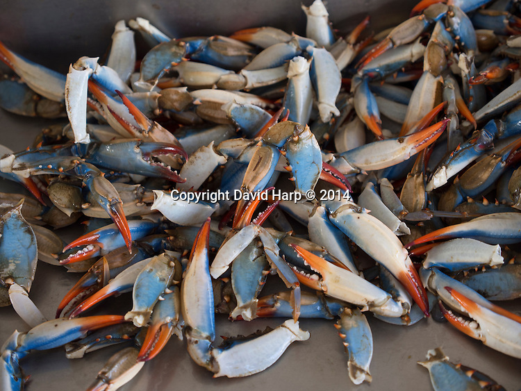 Fiery tips on the cerulean and ivory claws signify female crabs.