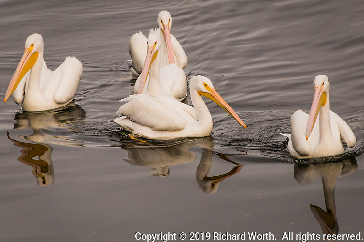 A pod of five American white pelicans paddles around the marina at Lake Chabot Regional Park.