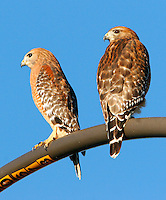 Pair of adult red-shouldered hawks on light standard. This pair was seen together at this location for many weeks watching for mice in a grassy area.