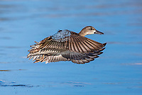 Blue-winged Teal (Anas discors), female in flight at the Salton Sea State Recreation Area, Mecca, California.
