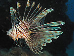 Kenting, Taiwan -- A common lionfish, Pterois volitans, prowling the reef.<br /> <br /> Lionfishes, members of the Scorpaenidae family, are ferocious hunters. They use their poisonous spike-like fins to corner their prey, which is then sucked in whole.<br /> <br /> During day time lionfishes often just hover above a sandy bottom. This peaceful movement can be misleading as they are quite capable to pounce on unsuspecting prey with lightning speed over a short distance.<br /> <br /> The poisonous spikes are used only defensively or to corner prey. When the lionfish is left with a way to retreat, divers have nothing to fear.
