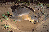 Australian flatback sea turtle, Natator depressus, covers nest after laying eggs in beach dunes, Curtis Island, Qld., Australia