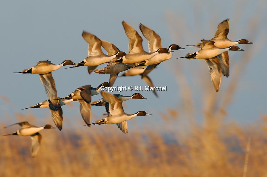 00300-025.16 Pintail Duck (DIGITAL) flock in flight low over marsh and phragmites.  Hunt, bird, waterfowl, wetland, action, fly.  H2R1