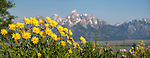 Balsamroot (Balsamorhiza sagittata) growing en-mass with the Grand Teton mountain range in the background. Grand Teton National Park, near Jackson Hole, Wyoming, USA. June