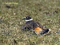 1K05-007z  Killdeer - adult broken wing act - Charadrius vociferus