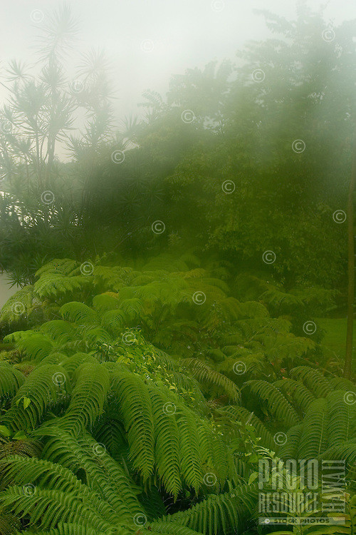 Ferns and trees in tropical rainforest setting, up country Big Island