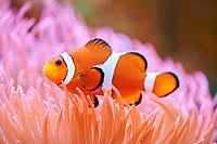 Orange clownfish (Amphiprion percula) in a aquarium, captive, Germany, Europe