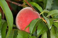 Pfirsich, Pfirsiche, Pfirsichbaum, Obst, Obstbaum, Prunus persica var. persica, Peach