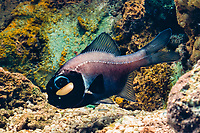eyelight fish, one-fin flashlightfish or lanterneye fish, Photoblepharon palpebratum (or Photoblepharon palpebratus), showing bioluminescent light organ under eye, Indo-Pacific Ocean (c)