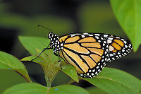 DANAUS PLEXIPPUS, Monarch Butterfly     subfamily - Danainae;  family - Nymphalidae;   order - Lepidoptera;      class - Insecta;    phyllum - Arthropoda;     kingdom - Animalia. NEW ORLEANS LOUISIANA USA AUDUBON ZOO.