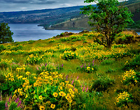 Balsomroot and Columbia River. Near Mosier Twin Tunnels. Columbia River Gorge National scenic Area, Oregon