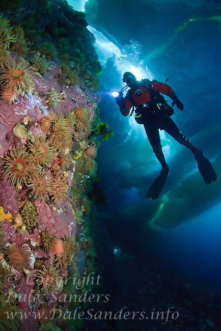 Scuba diver Adam Ravetch explores a colorful anemone covered wall of rock beneath the arctic ice in Admiralty Inlet off Baffin Island, Nunavut, Canada.