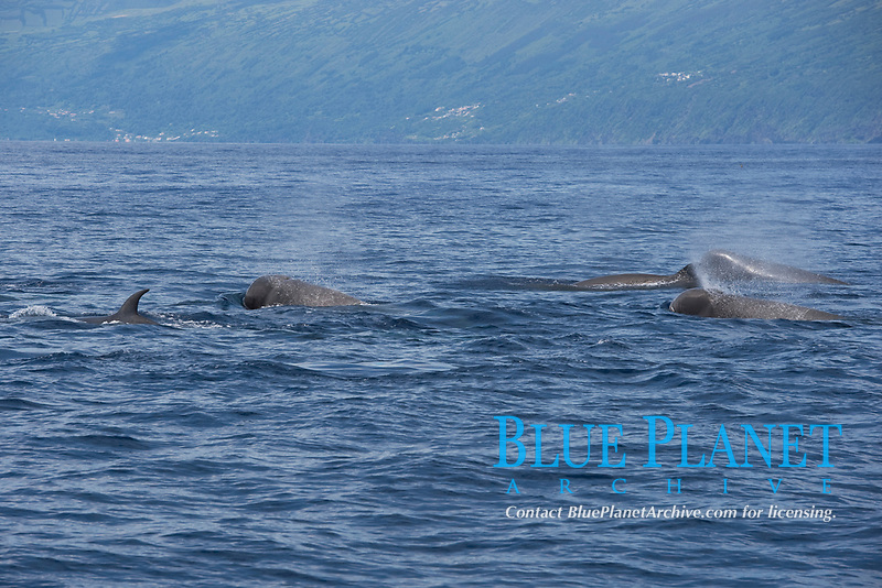 Northern Bottlenose Whale (Hyperoodon ampullatus) five adult animals surfacing, rare unusual image. Azores, Atlantic Ocean MORE INFO: This was part of a group of 13 animals seen South of Pico Island, it is extremely rare to see so many Bottlenose Whales together.