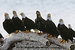 Bald eagles congregate on the beach along Homer Spit, Alaska.
