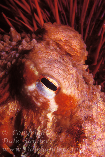 Eye of a Giant Pacific Octopus (Octopus dolfleini) that is hiding among some large sea urchins off the coast of British Columbia, Canada.