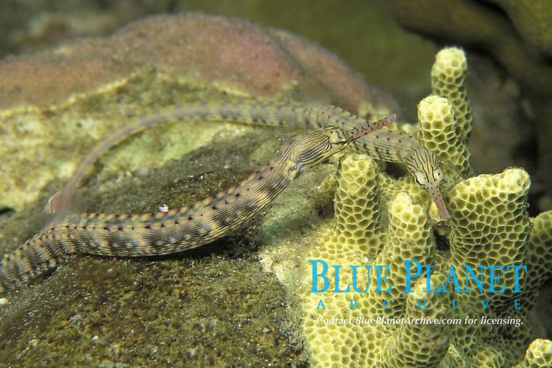 reeftop pipefish, Corythoichthys haematopterus, Milne Bay, Papua-New Guinea