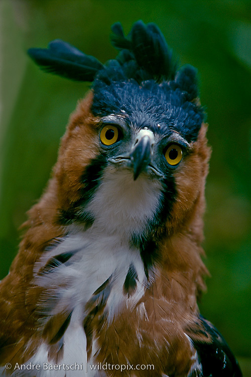 Ornate Hawk-Eagle (Spizaetus ornatus), portrait, tropical rainforest, Rio Tuichi, Madidi National Park, Bolivia.