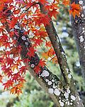 Westonbirt Acers