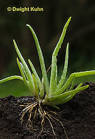 HS01-500z  Aloe Plant showing Roots and Stems - Aloe vera