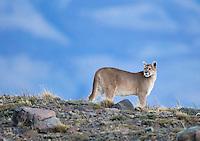 A female puma begins her evening walk in Torres del Paine.
