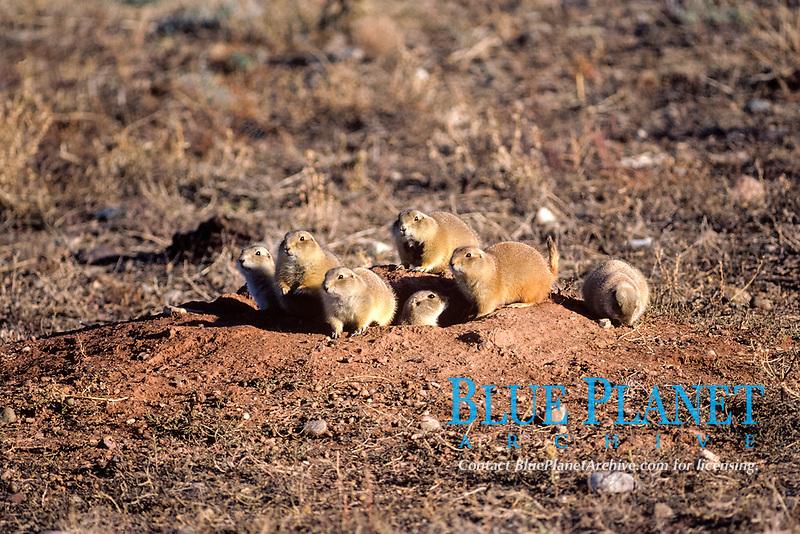 "black-tailed prairie dog, Cynomys ludovicianus, family at their burrow in a ""prairie dog town"" in South Dakota , USA"