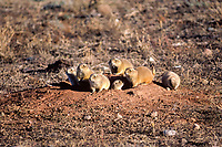 "black-tailed prairie dog, Cynomys ludovicianus, family at their burrow in a ""prairie dog town"" in South Dakota , USA"