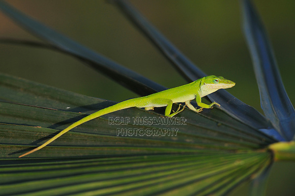 Green Anole (Anolis carolinensis), adult on palm frond, Fennessey Ranch, Refugio, Coastal Bend, Texas, USA