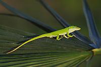 Green Anole (Anolis carolinensis), adult on palm frond, Fennessey Ranch, Refugio, Coastal Bend, Texas, USA