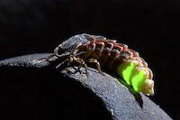Großer Leuchtkäfer, Weibchen mit Leuchtorganen, leuchtet, Großes Glühwürmchen, Gelbhals-Leuchtkäfer, Lampyris noctiluca, female, glowworm, glow-worm, great European glow-worm beetle, firefly, fireflies, glowfly, glowflies, Leuchtkäfer, Lampyridae