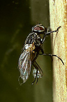 1H05-009z  House Fly - rubbing wings with legs - Musca domestica