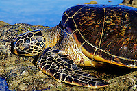 Green Sea Turtle (Chelonia mydas) sunning and resting on rocks during low tide.  Hawaii.