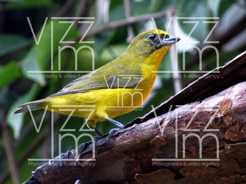CALI - COLOMBIA, 30-06-2016: Eufonia Gorgiamarillo, especie de ave presente en el norte de Cali. / Eufonia Gorgiamarillo, bird species present in north of Cali Photo: VizzorImage / Dario Ramirez / Cont.
