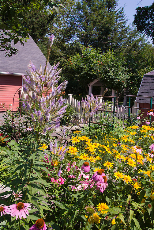 Summer flower perennial garden with Echinacea purpurea purple coneflowers, Heliopsis, Phlox paniculata, Veronicastrum virginicum, barn shed, garage, blue sky on sunny day, picket fence, in lush bloom, heirloom and open-pollinated varieties