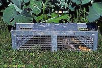 MA23-090z  Gray Squirrel - trapped in live-trap near garden - Sciurus carolinensis