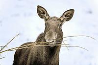 Moose or Eurasian Elk (Alces alces), cow feeding, captive, Thuringia, Germany, Europe, PublicGround, Europe