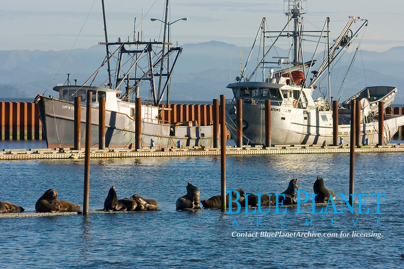 Stellar Sea Lions ( Eumetopias jubatus) congregate to rest on the docks of a harbor in Astoria, Washington after a night of feeding. (do)