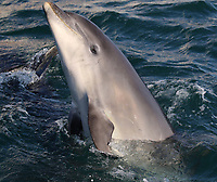 BNPS.co.uk (01202 558833)<br /> Pic: TomBrereton/BNPS<br /> <br /> One of the dolphins eyes up the photographer<br /> <br /> Dolphins from one of the three colonies known to inhabit UK waters have become the first to swim over 800 miles to join another group, marine scientists have revealed.<br /> <br /> The two bottlenose dolphins are known to have left the Moray Firth in Scotland in 2018 and have now joined the group that inhabit the sea off the south west coast.