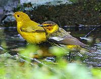 Male Cape May and yellow warblers bathing