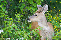Sitka Black tailed Deer