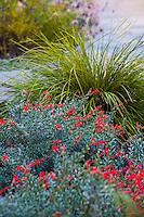 Epilobium septentrionale  (California Fuchsia) flowering in Lundstrom Garden, design by Susan Morrison