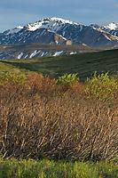 Evidence of over population browsing damage by snowshoe hares during winter months, Denali National Park, Interior, Alaska.