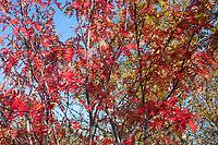 Vogelbeere, Eberesche, Herbstlaub, Herbstfarben, Vogel-Beere, Vogelbeerbaum, Sorbus aucuparia, Pyrus aucuparia, rowan, mountain-ash, Le Sorbier des oiseleurs, Sorbier des oiseaux, Blatt, Blätter, leaf, leaves