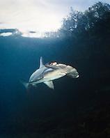 scalloped hammerhead shark, Sphyrna lewini, juvenile, Kaneohe Bay, Oahu, Hawaii, USA, Pacific Ocean, captive
