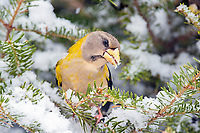 evening grosbeak, Coccothraustes vespertinus, songbird in a winter balsam fir with snow, Nova Scotia, Canada