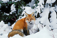 Red fox (Vulpes vulpes).  Winter.